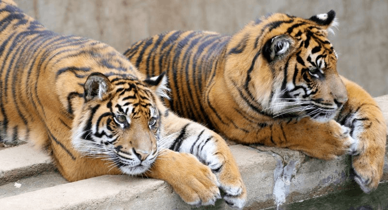 Don't Feed the Tigers!: Facing Your Feelings